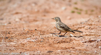American Pipit Sedona Wetlands March 24, 2013