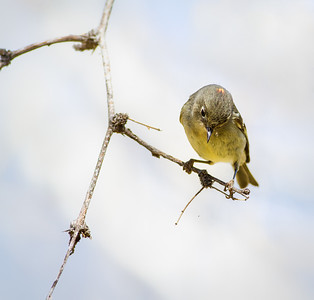 Ruby-crowned Kinglet Page Springs Fish Hatchery Cornville, Arizona 3-24-13