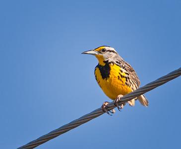 Eastern Meadowlark on wire Southwest Florida 3/26/12