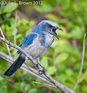 Florida Scrub Jay, vocalizing 3 Southwest, Florida  3/26/12