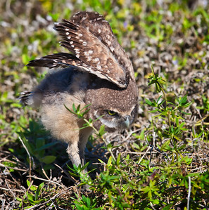 Burrowing Owl, immature wing display Cape Coral, Florida  3/26/12