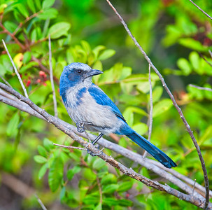 Florida Scrub Jay, adult perched in look-back pose Southwest, Florida  3/26/12