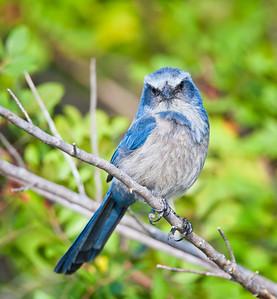 Florida Scrub Jay, forward look Southwest, Florida  3/26/12