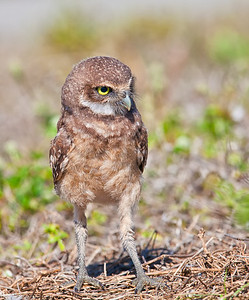 Burrowing Owl, immature full length pose Cape Coral, Florida  3/26/12