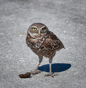 Burrowing Owl, adult with freshly expelled pellet Cape Coral, Florida  3/26/12