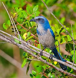 Florida Scrub Jay, adult perched in bush Southwest, Florida  3/26/12