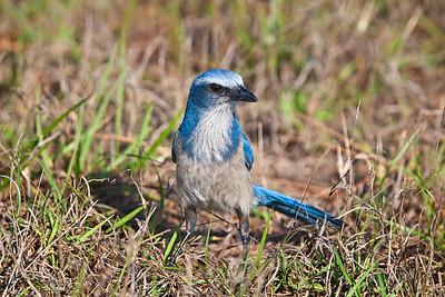 Florida Scrub Jay, adult in grass 2 Southwest, Florida  3/26/12