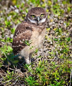 Burrowing Owl, immature vocalizing Cape Coral, Florida  3/26/12