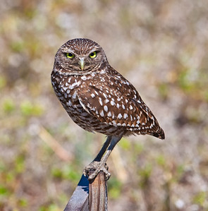"Burrowing Owl, adult on ""T"" perch Cape Coral, Florida  3/26/12"