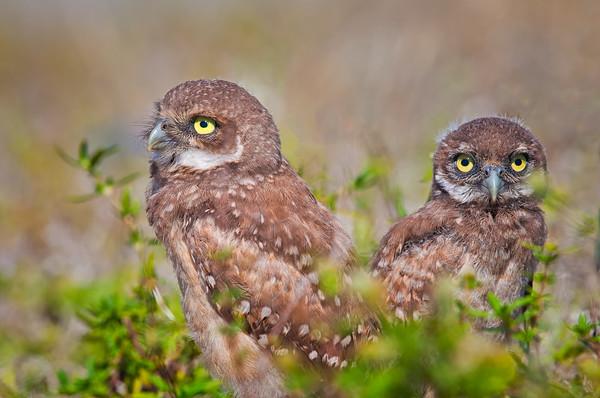 Burrowing Owl fledglings