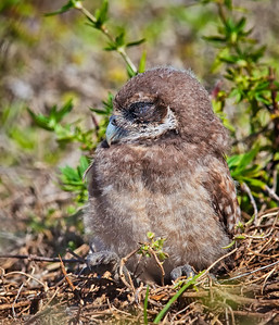 Burrowing Owl, immature with eyes closed Cape Coral, Florida  3/26/12