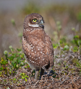 Burrowing Owl, immature look-back pose Cape Coral, Florida  3/26/12