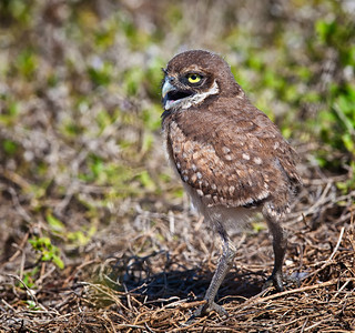 Burrowing Owl, immature vocalizing in stride Cape Coral, Florida  3/26/12