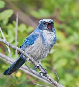 Florida Scrub Jay, vocalizing 2 Southwest, Florida  3/26/12