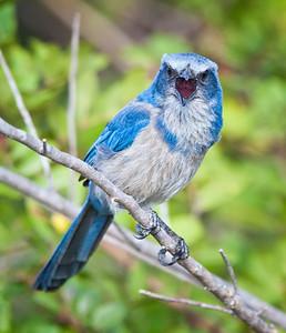 Florida Scrub Jay, vocalizing Southwest, Florida  3/26/12