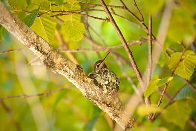Anna's Hummingbird, female on nest 1/3 UC Botanical Gardens,  Berkeley, California 6/16/11