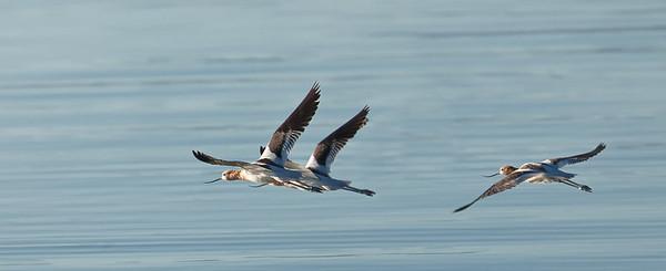 American Avocets in flight Mono Lake County Park Lee Vining, California 6/20/11