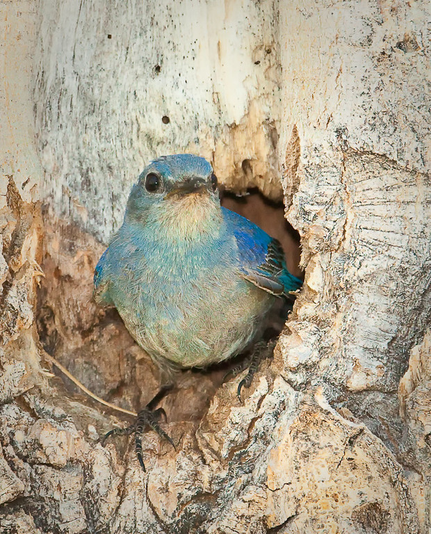 Male Mountain Bluebird emerging from nest hole<br /> Lower Parker Canyon<br /> Mono Basin, Eastern Sierra 6/20/11