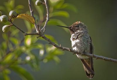 Anna's Hummingbird Oakland, California 6/16/11
