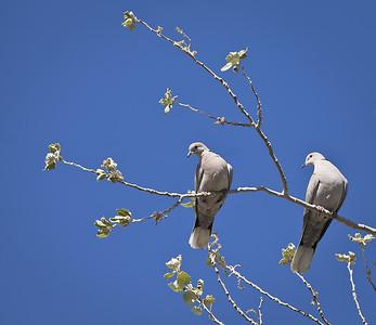 Eurasian Collared Doves Lee Vining, California 6/17/11