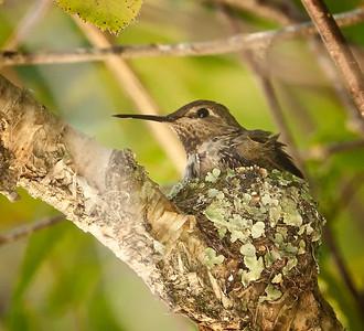 Anna's Hummingbird, female on nest 2/3 UC Botanical Gardens,  Berkeley, California 6/16/11