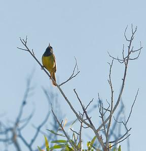 MacGillivray's Warbler, singing Mono Lake County Park Lee Vining, California 6/19/11