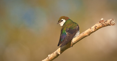 Violet-green Swallow, male Mono Lake County Park Lee Vining, California 6/19/11
