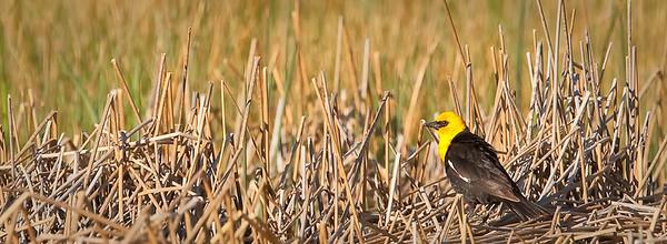 Yellow-headed Blackbird, male in habitat Mono Lake County Park Lee Vining, California 6/19/11