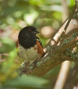 Spotted Towhee, male UC Botanical Gardens,  Berkeley, California 6/16/11