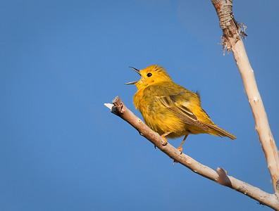 Yellow Warbler, male singing Mono Lake County Park Lee Vining, California 6/19/11