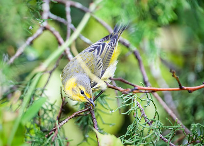 Cape May Warbler, fall male