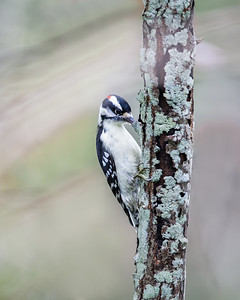 Downy Woodpecker, adult male