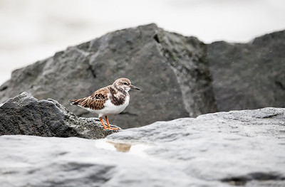 Ruddy Turnstone, nonbreeding adult
