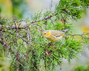 Cape May Warbler fall male