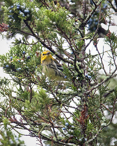Black-throated Green Warbler, female