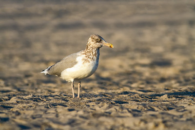Herring Gull (3rd Winter)
