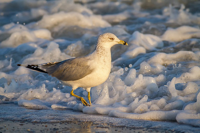 Ring-billed Gull in the surf