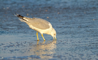 Ring-billed Gull foraging