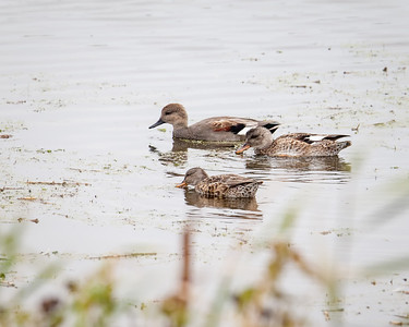 Gadwall, male breeding with  Northern Shoveler, female
