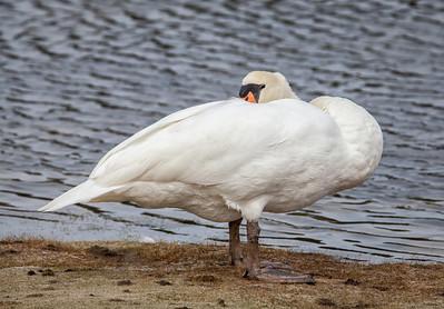 Adult Mute Swan preening