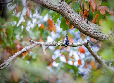 Black and White Warbler, fall female