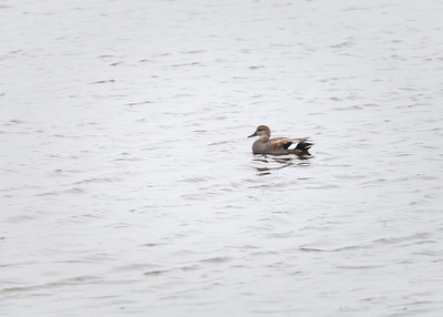 Gadwall, male in breeding plumage