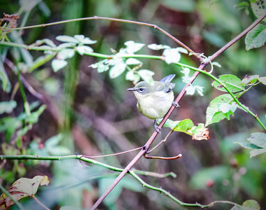 Black-throated Blue Warbler, female 1st Fall