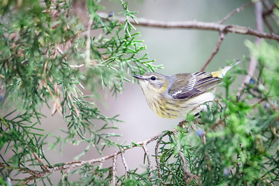 Blackpoll Warbler, adult female non-breeding