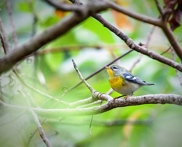 Northern Parula, male