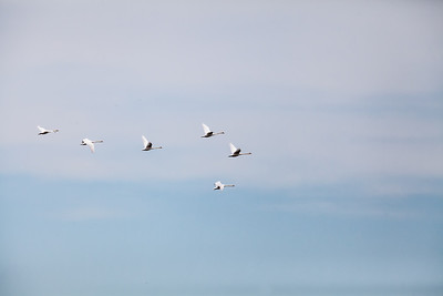 Adult Mute Swans in flight