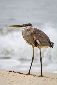 Great Blue Heron, 1st year