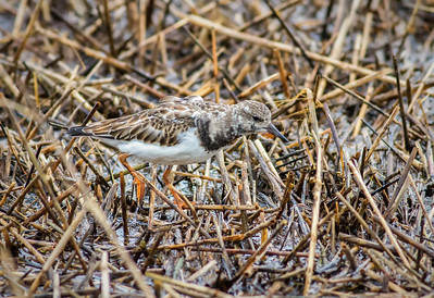 Ruddy Turnstone in salt marsh wrack