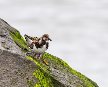Ruddy Turnstone, adult non breeding