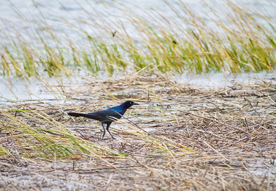 Boat-tailed Grackle in salt marsh wrack